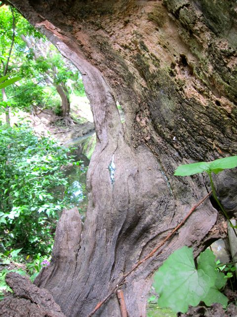 Hollow tree on bank of Taylor Massey Creek, Scarborough
